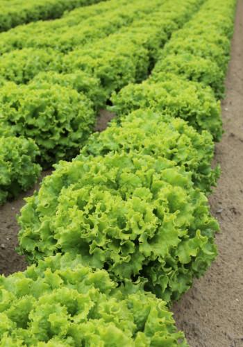 lettuce-in-sand