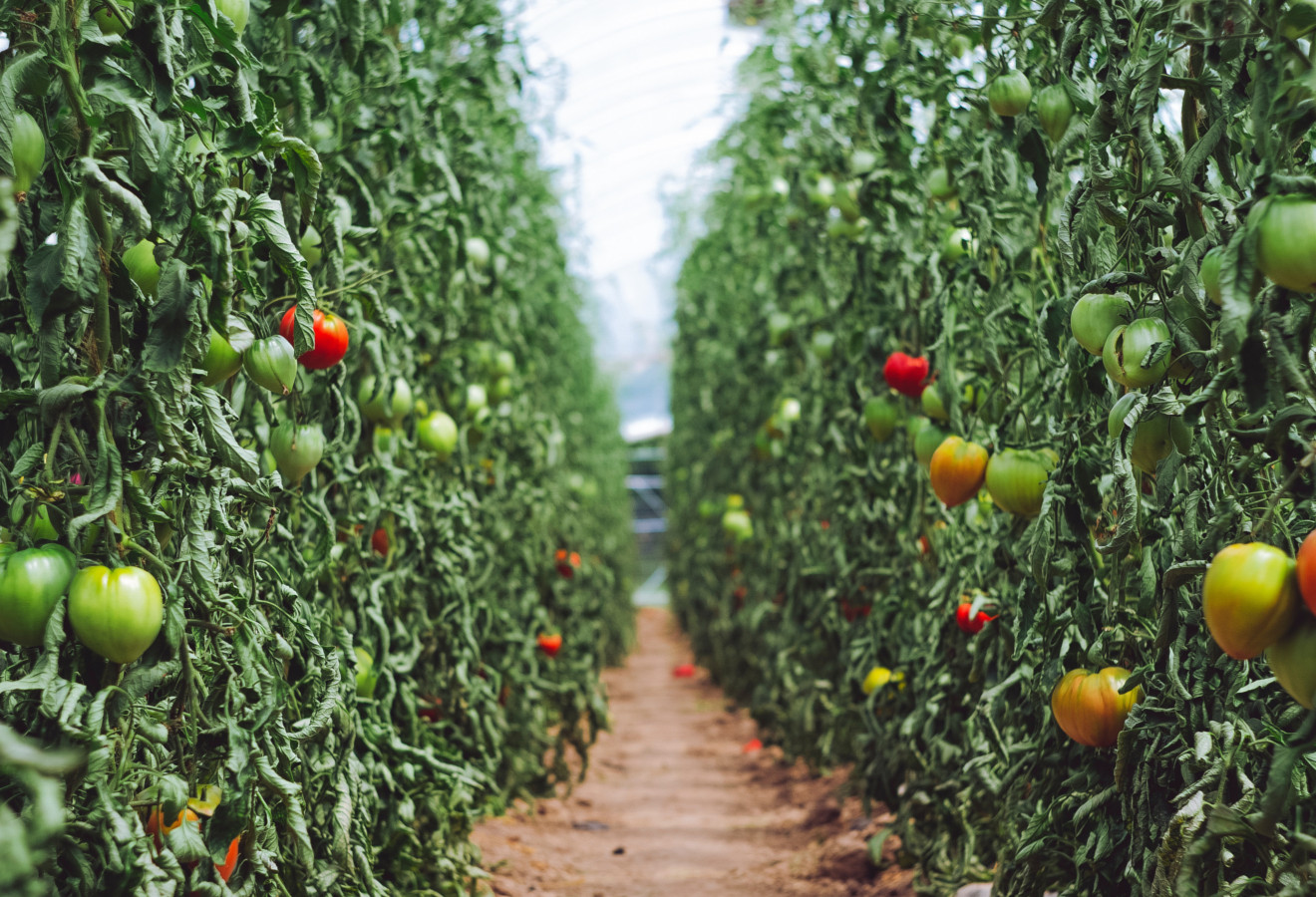 powerplant-greenhouse-tomatoes